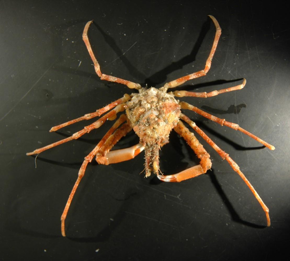 Decorator Crab Scientific Name Best Crab For Food 2018